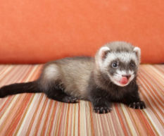 How to Change Your Ferret's Diet: Tips, Tricks, and Lots of Patience