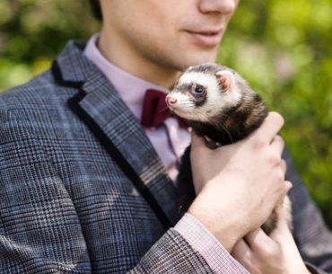 How are ferret shelters coping with COVID-19 and its massive impact?