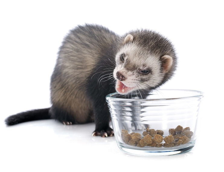 Ferret kibble: breaking down what's in the bag. Is it nutritionally sound?