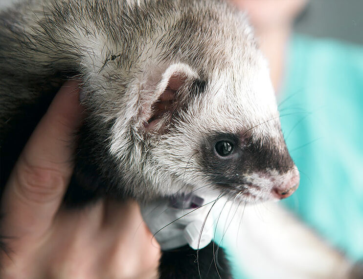 Should You Microchip Your Ferrets? The Pros and Cons.