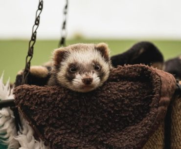Do ferrets like to cuddle