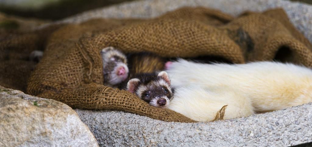 How Long Do Ferrets Shed For?