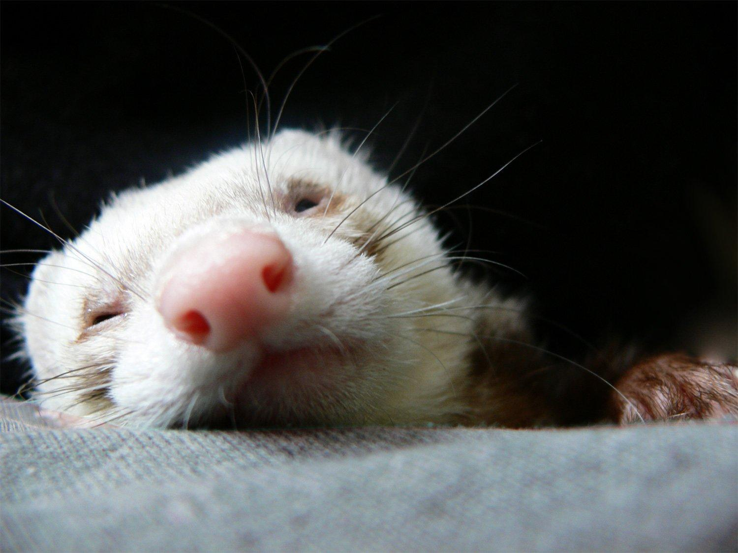 Should You Expect Your Ferret to Shed