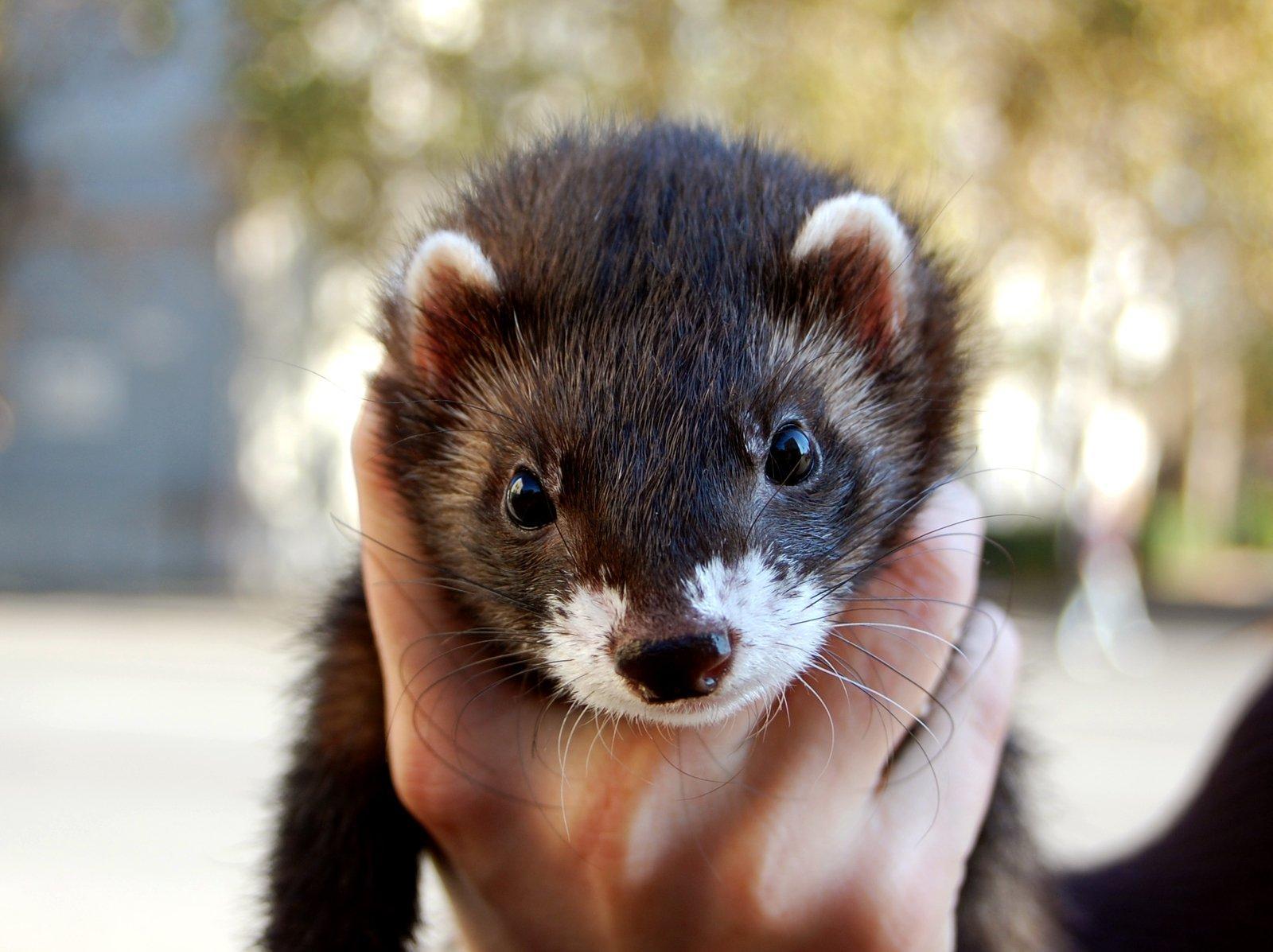 Are Ferrets Seasonal Shedders