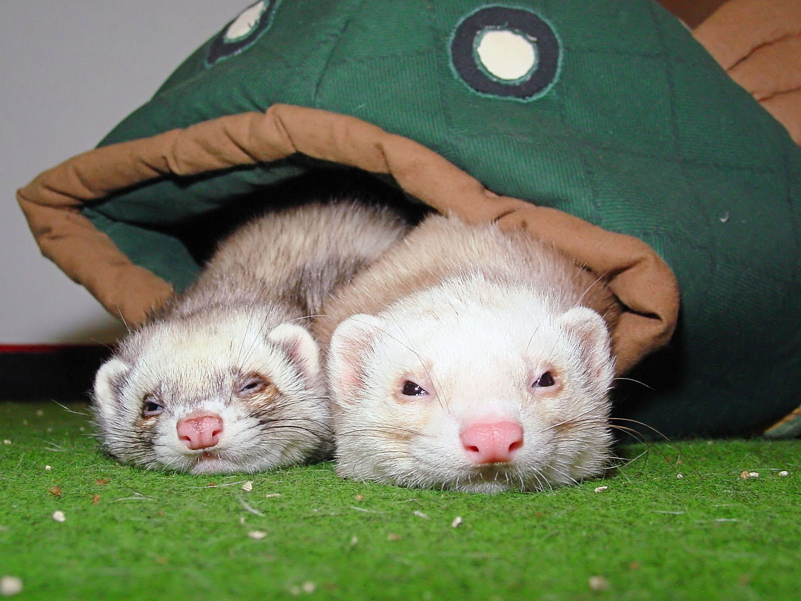 are ferrets nocturnal