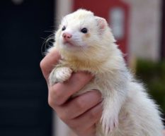 Do Ferrets Shed