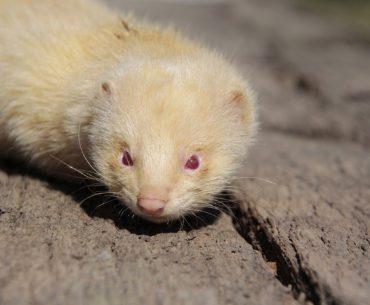 albino ferrets