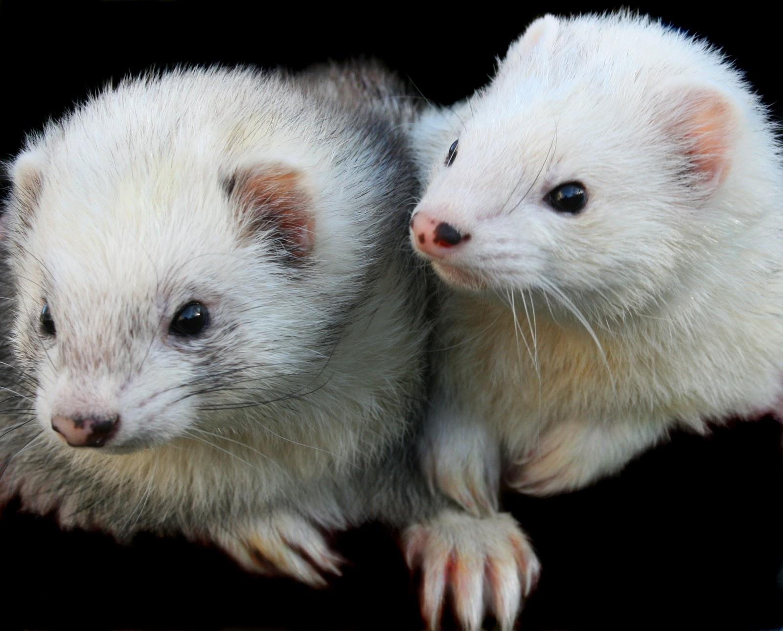two ferrets
