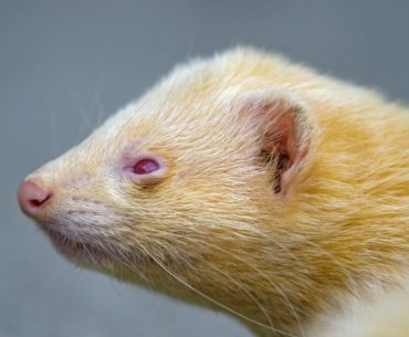 yellow ferret