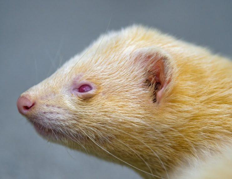 yellow ferret
